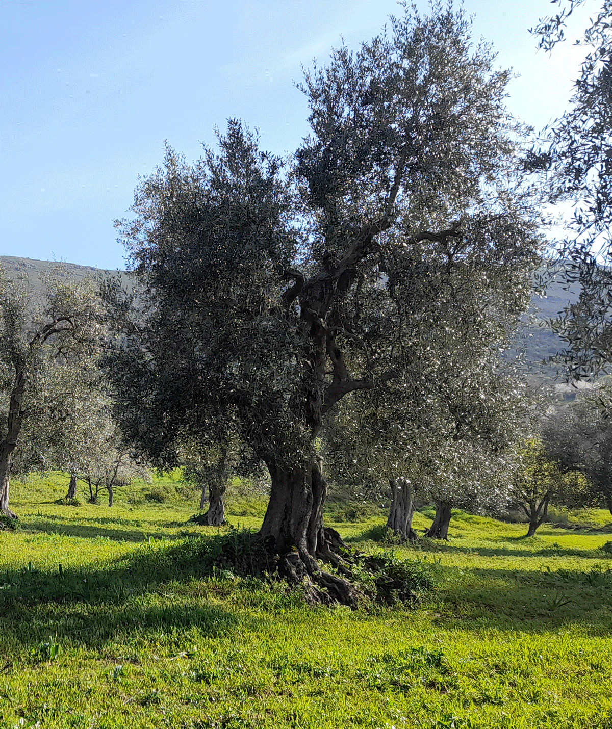 Olio Sarra